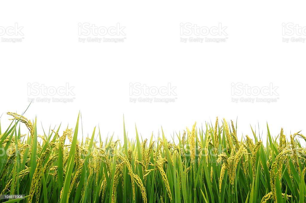 Paddy field in autumn stock photo