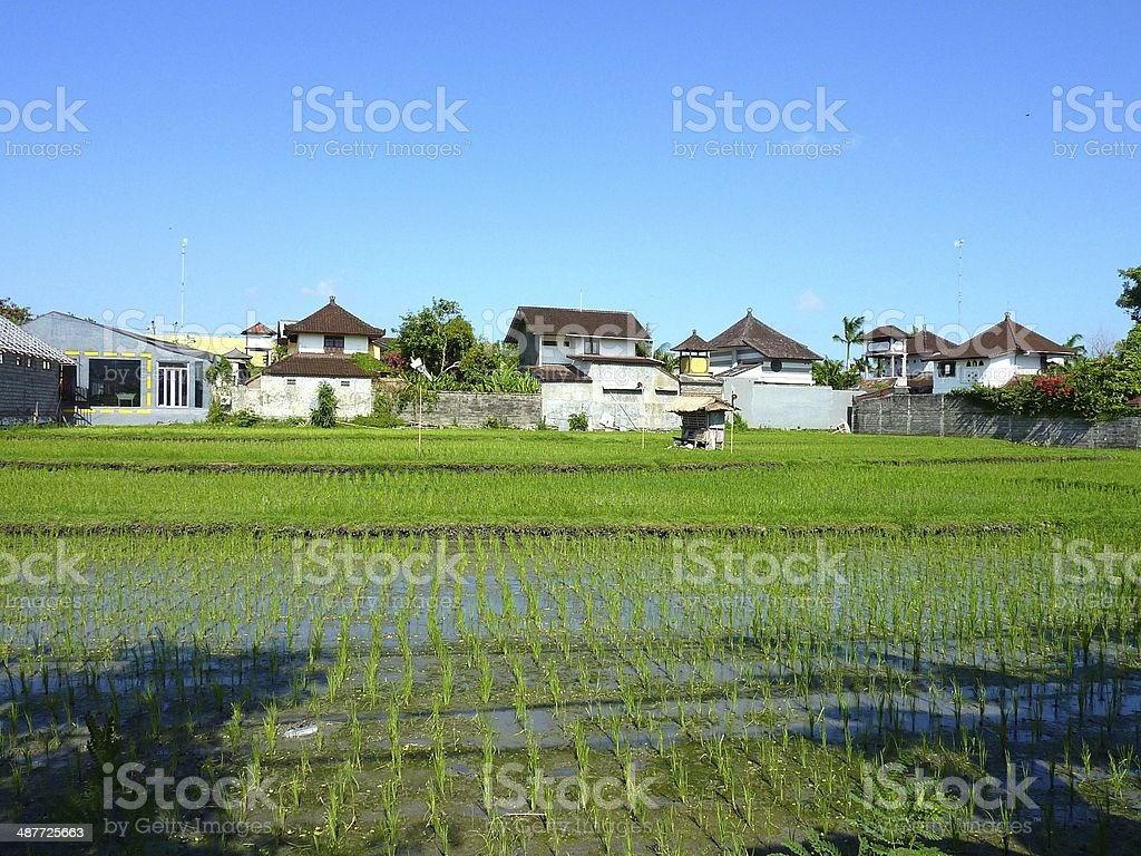 Paddy field in Bali royalty-free stock photo