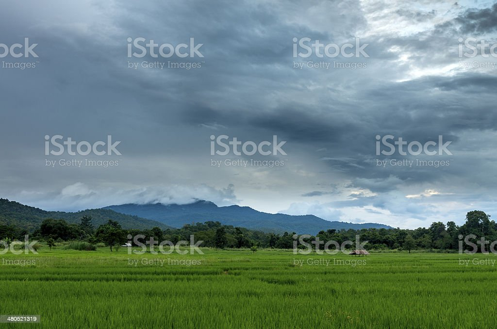 Paddy field in Thailand royalty-free stock photo