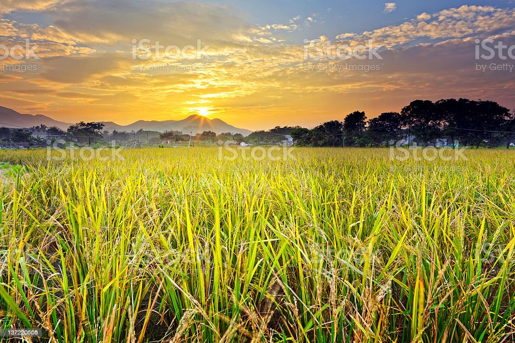 paddy field with sunset royalty-free stock photo
