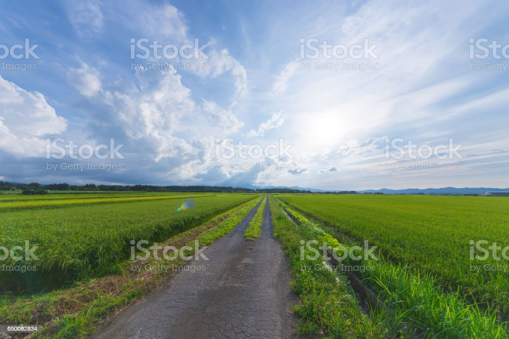 Paddy Field,in Shonai Plain,Tsuruoka,Yamagata,Japan stock photo