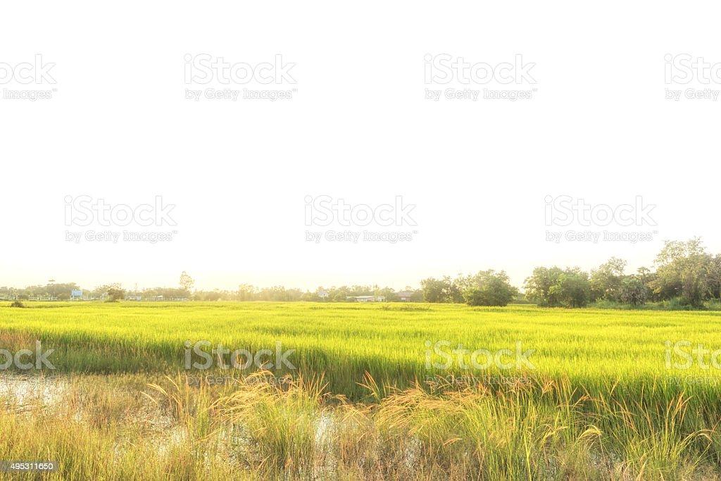 Paddy jasmine rice farm in Thailand stock photo