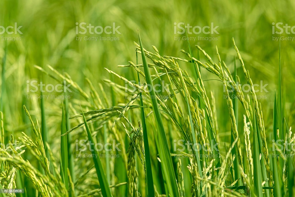 Paddy de riz au jasmin farm en Thaïlande photo libre de droits