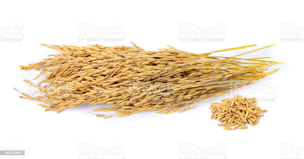 paddy jasmine rice on white background stock photo