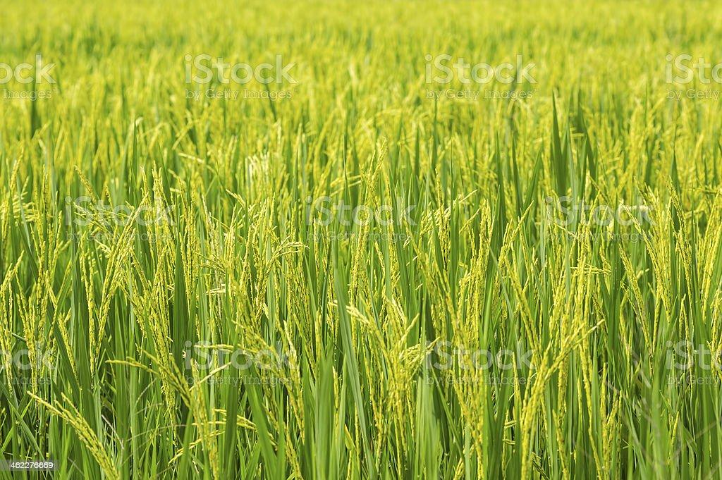 Paddy stock photo