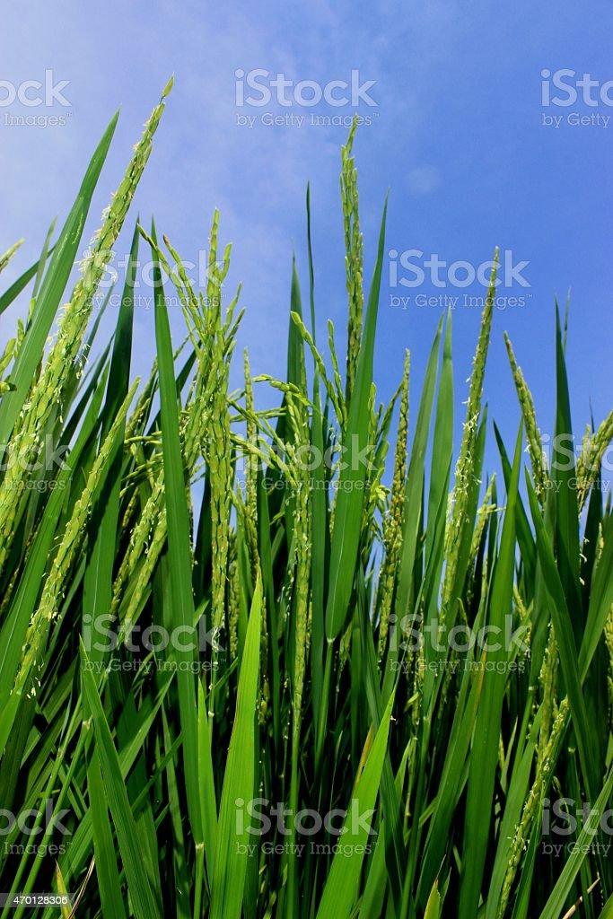 paddy plants stock photo