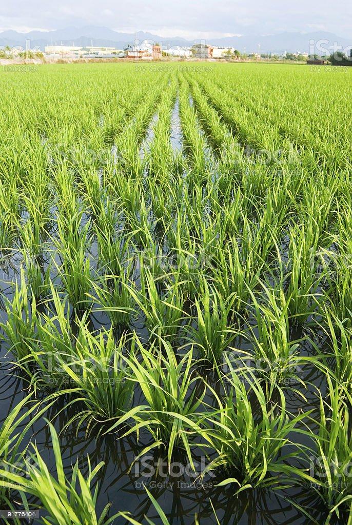 Paddy rice farm, green field royalty-free stock photo