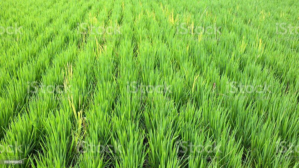 Paddy Rice Farmland stock photo