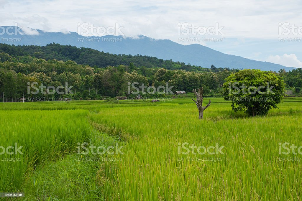 Paddy rice field in Nan province, Thailand stock photo