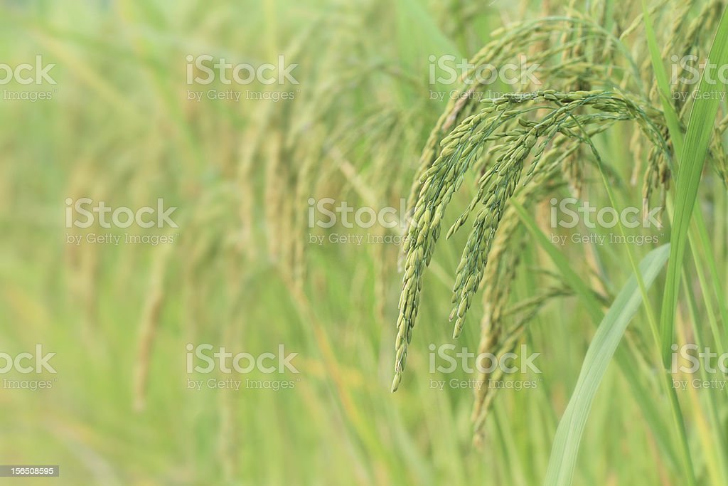 Paddy rice field royalty-free stock photo