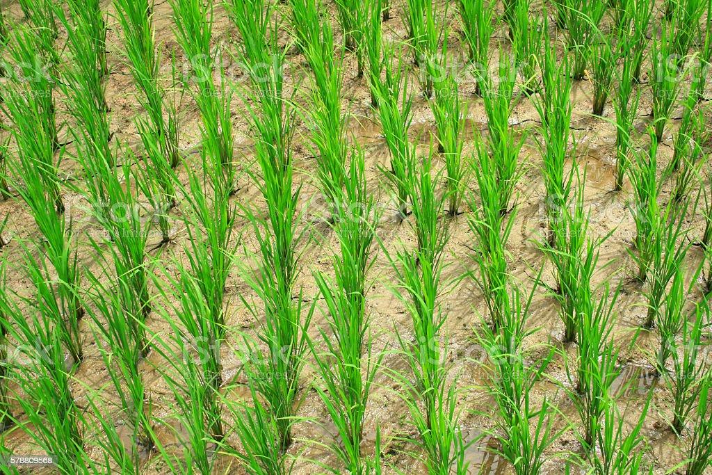 paddy rice field royalty-free stock photo