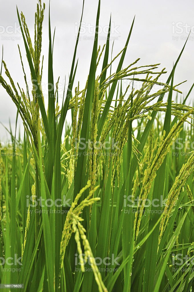 paddy rice in bloom royalty-free stock photo