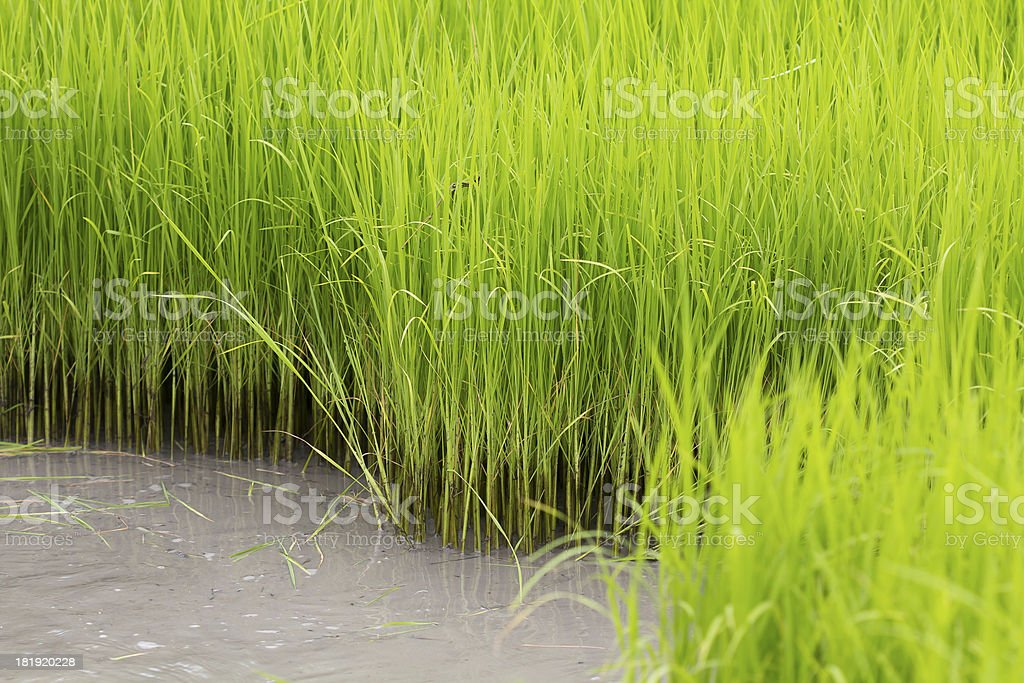 paddy rice in field royalty-free stock photo
