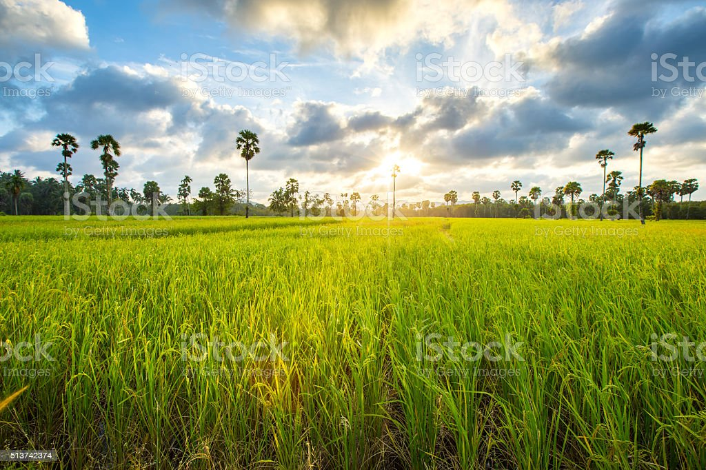 paddy rice in field, Thailand, Before sunset background stock photo