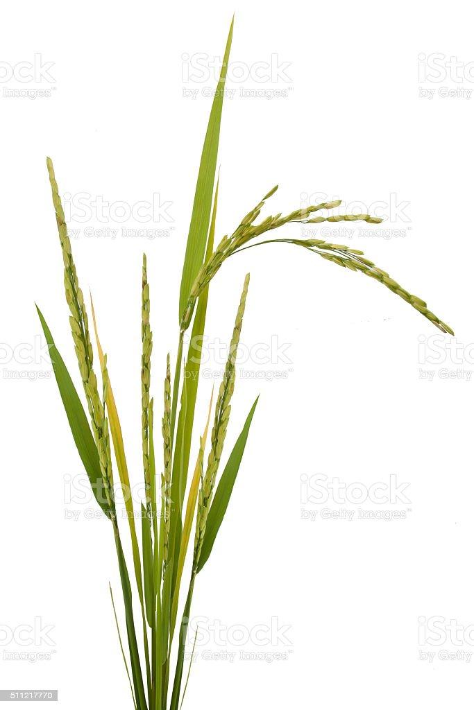 paddy rice isolated stock photo
