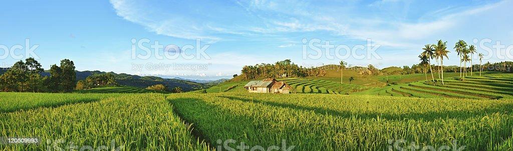 Paddy rice panorama royalty-free stock photo