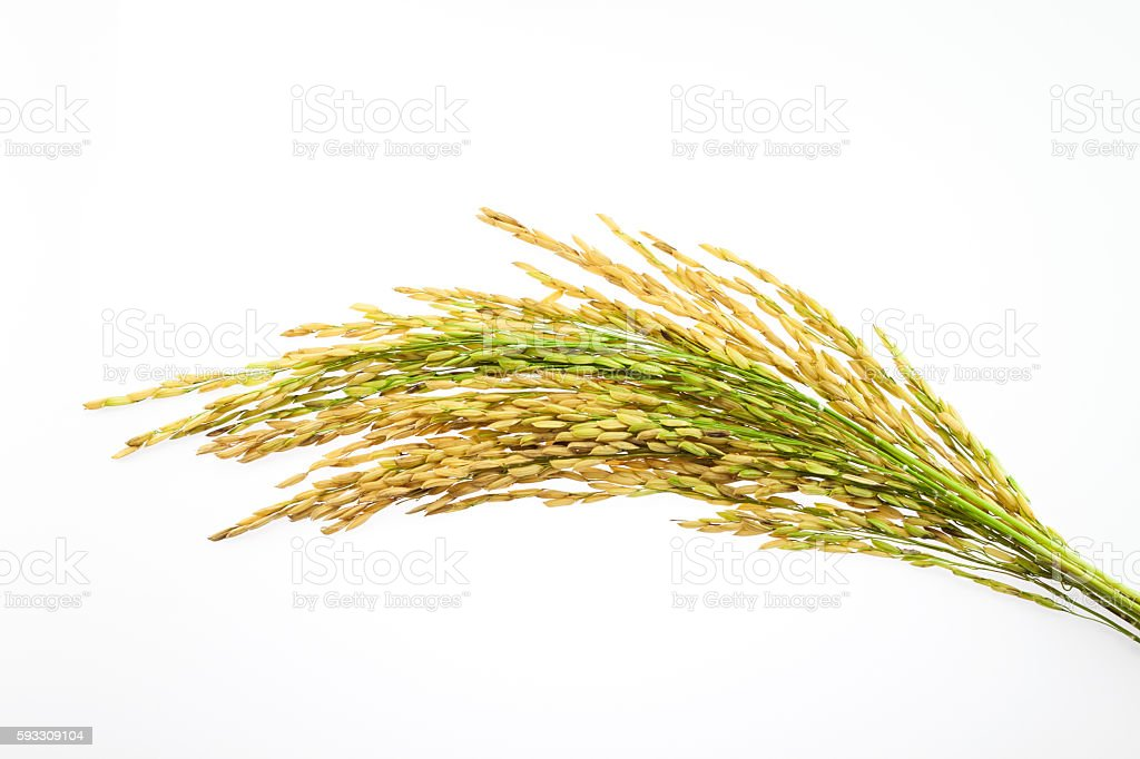 paddy rice seed on white background stock photo