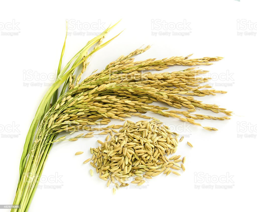 paddy rice seed. stock photo