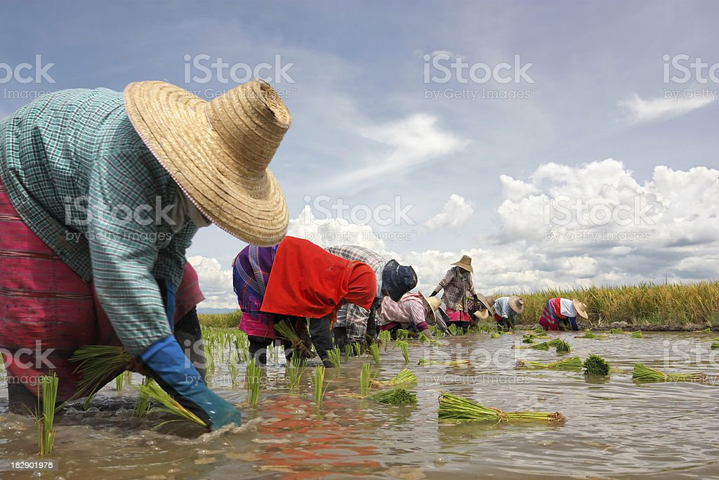 Paddy transplanting royalty-free stock photo