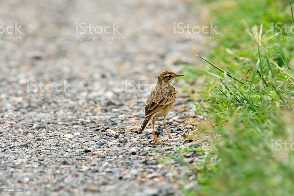 Paddyfield Pipit royalty-free stock photo