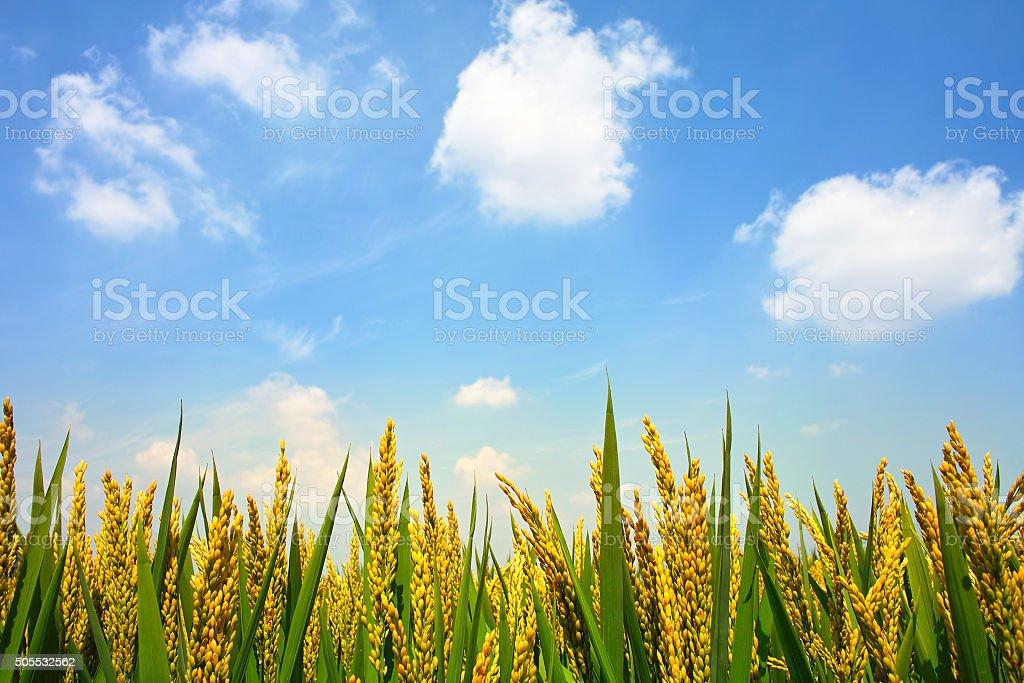 Paddyfield under sky stock photo