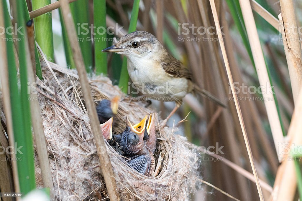 Paddyfield Warbler (Acrocephalus agricola). stock photo