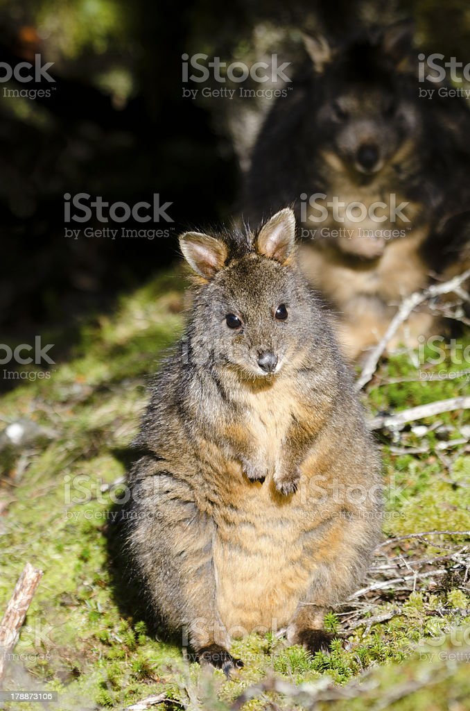 Pademelon in Tasmania with sinister background companion royalty-free stock photo
