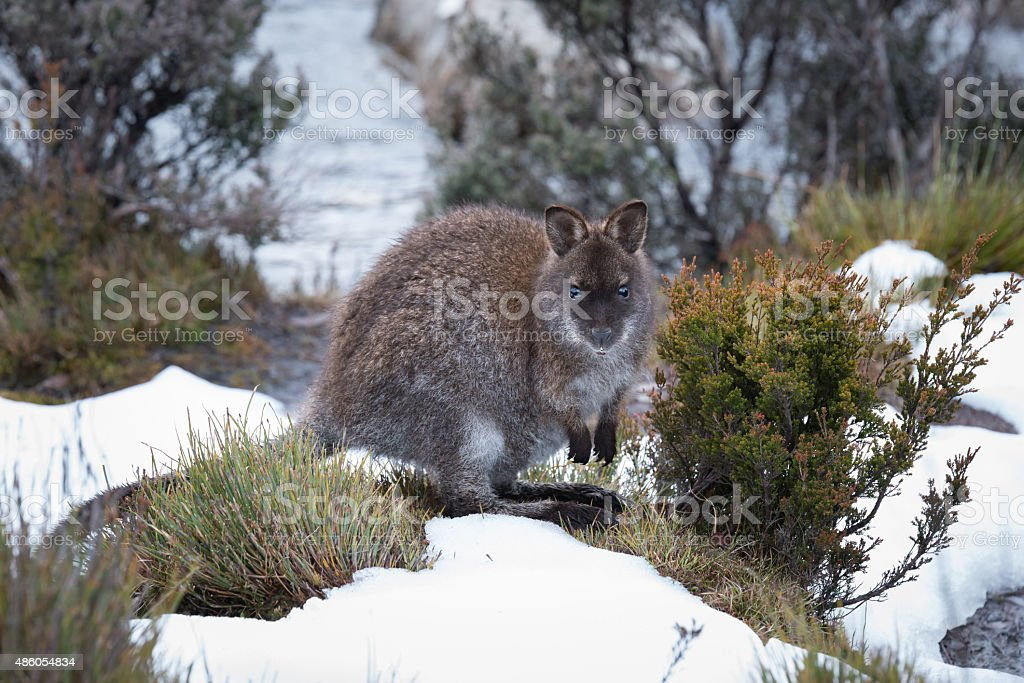 Pademelon in the snow stock photo