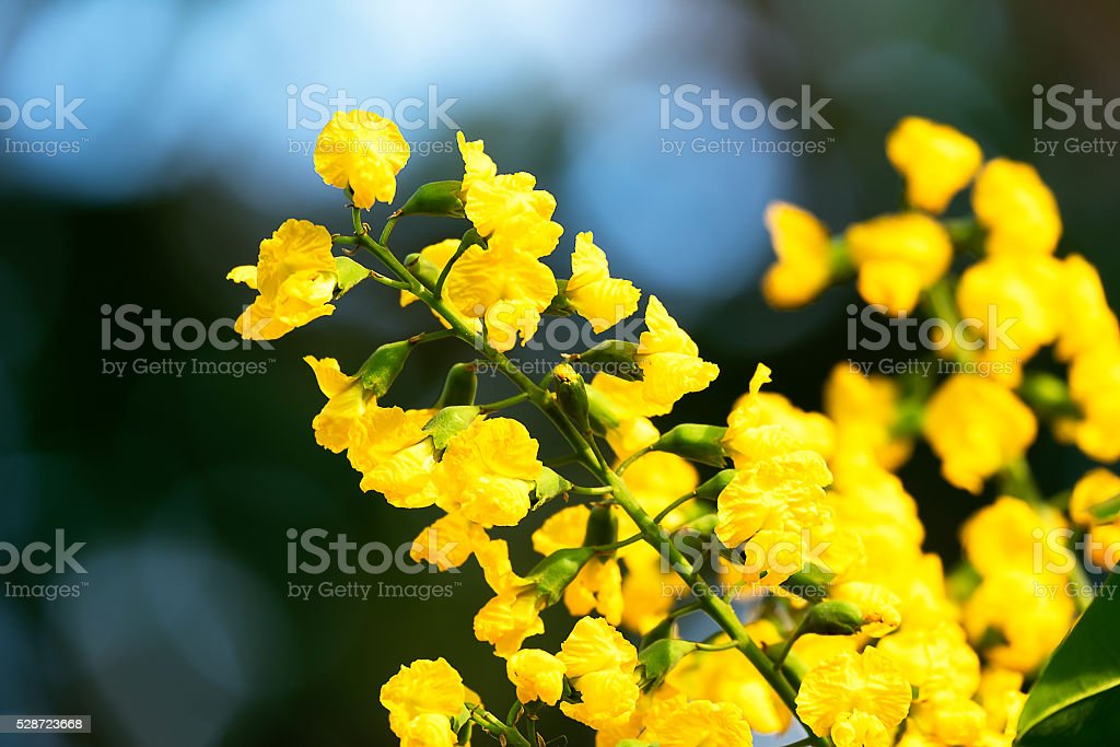 Paduak, Nation Flowers of Myanmar stock photo