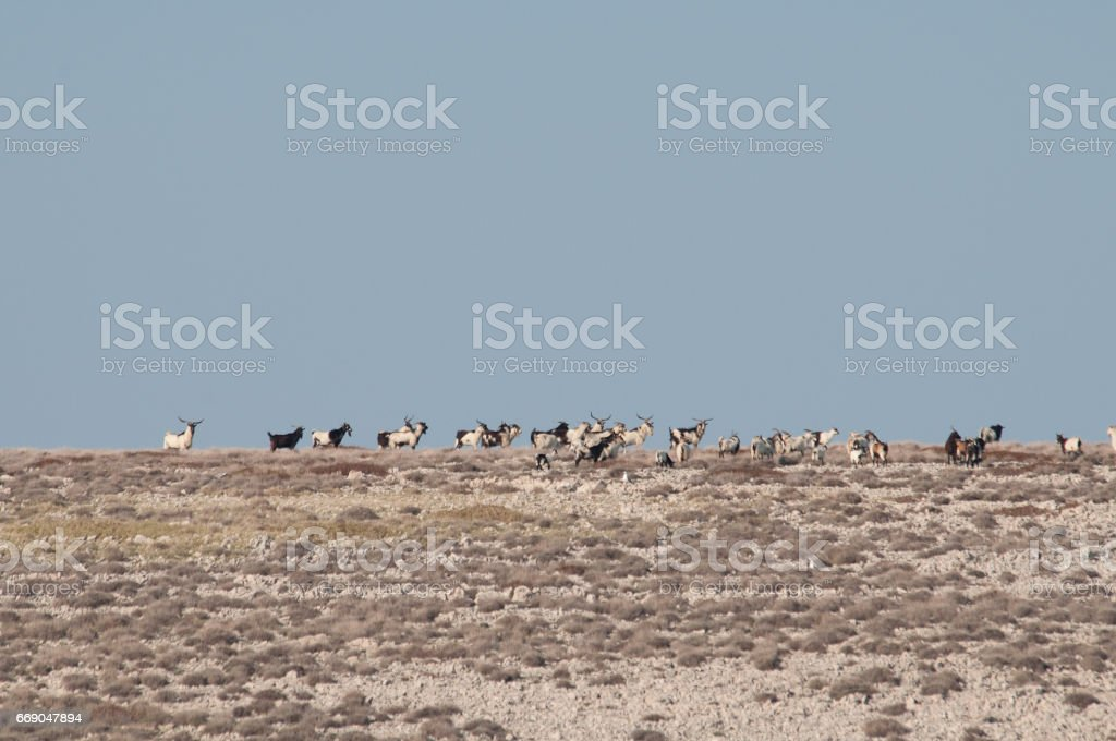 Pag Island with goats stock photo