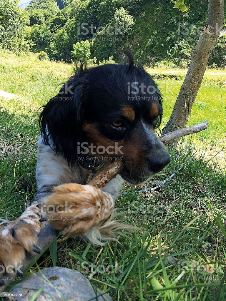 Épagneul breton_Hunting dog with stick stock photo