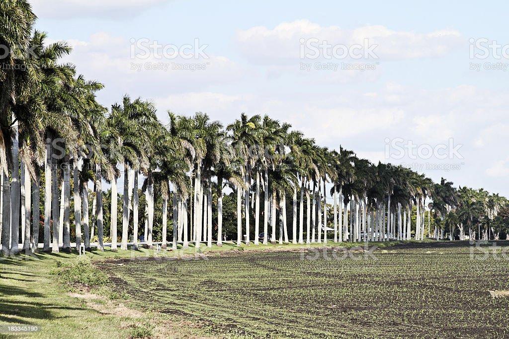 Pahokee Florida palms stock photo