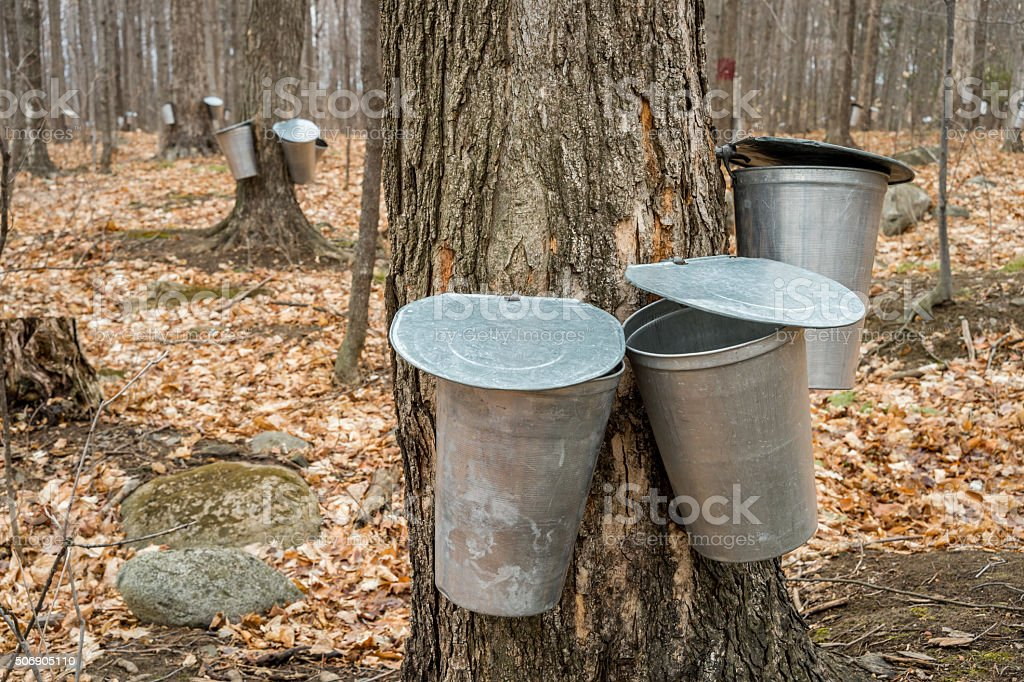 Pail used to collect sap of maple trees. stock photo
