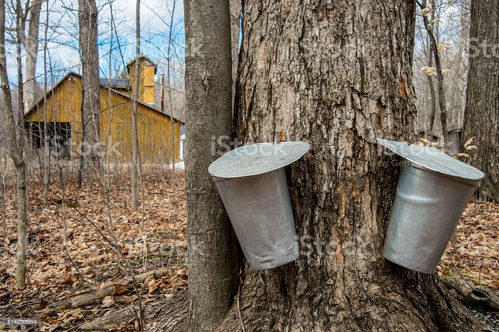 Pail used to collect sap of maple trees stock photo