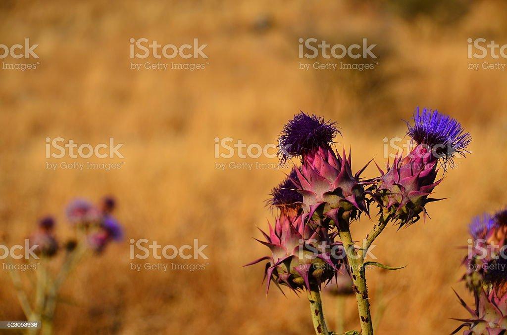 dolorosísima flor foto de stock libre de derechos