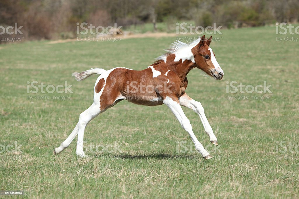 Paint horse foal in freedom stock photo