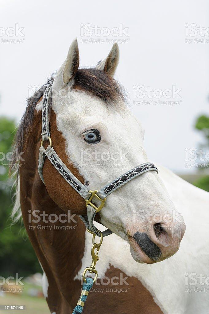 Paint Horse Head Shot, White Face Blue Eyes Piebald royalty-free stock photo