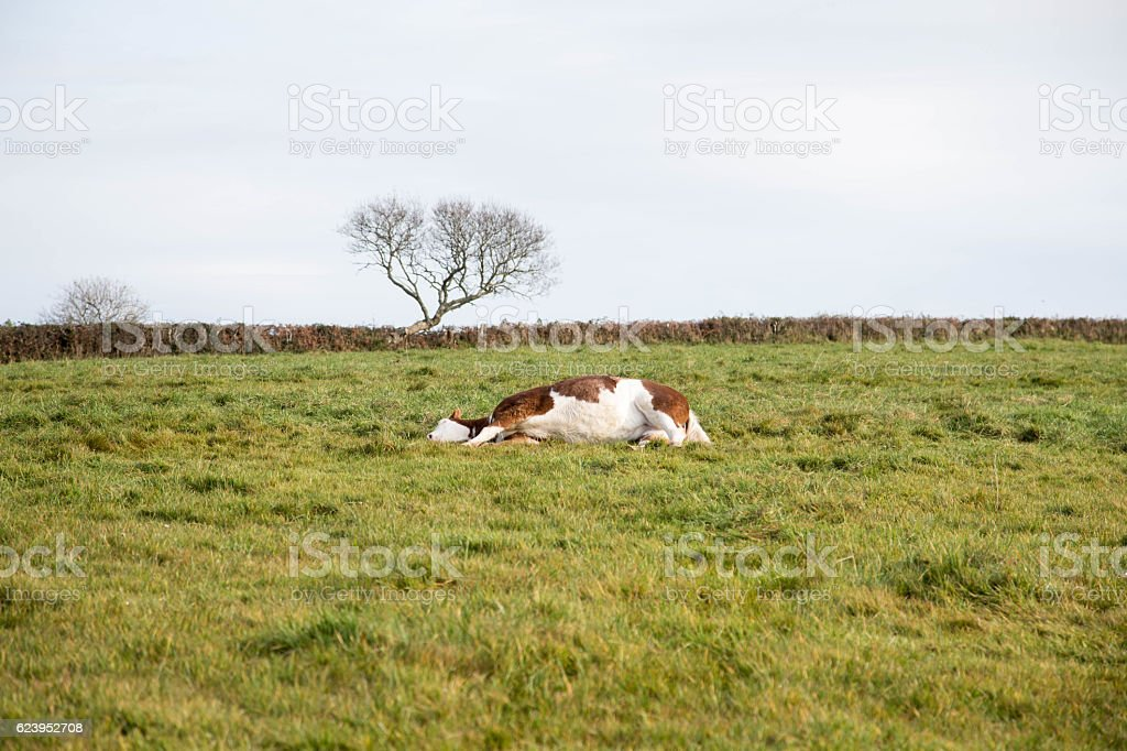 paint horse lying down stock photo