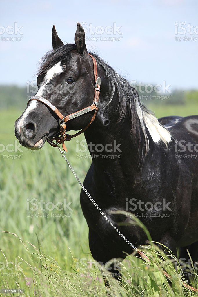 Paint horse stallion with western halter on pasturage royalty-free stock photo