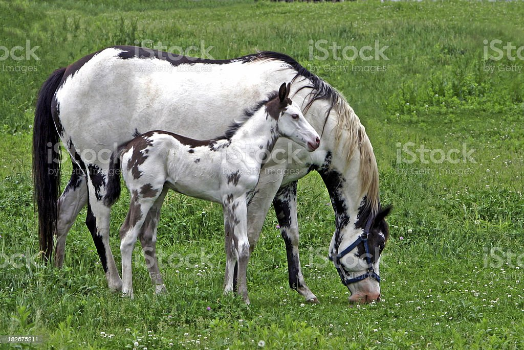 Paint Mare With Foal stock photo