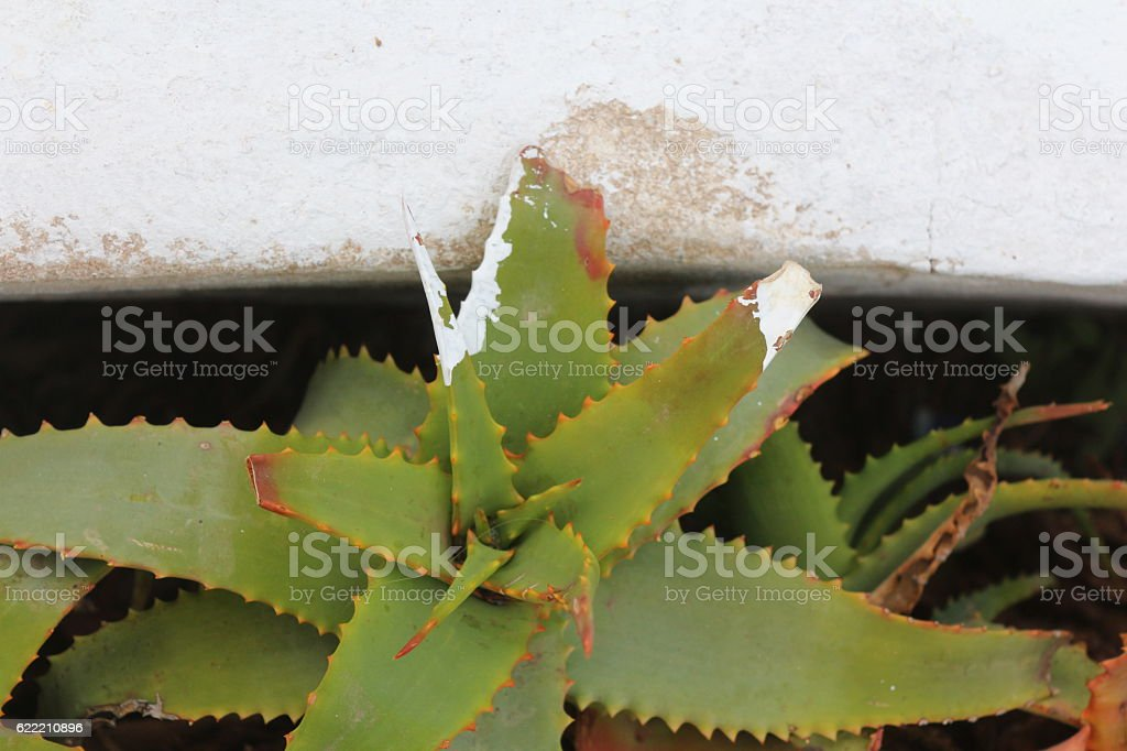 Painted aloe stock photo