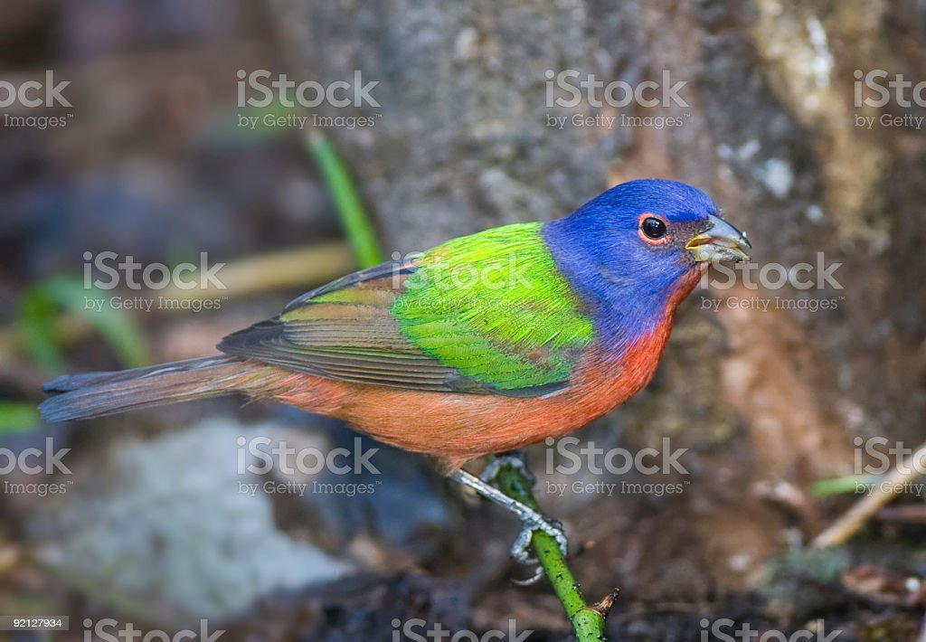 Painted Bunting eating a seed. royalty-free stock photo