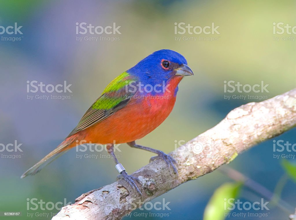 Painted Bunting on a branch stock photo
