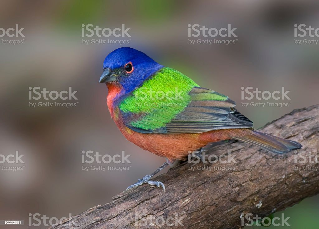 Painted Bunting perched on a limb. stock photo