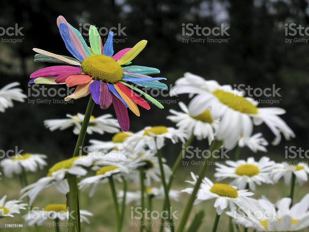 Painted daisy among daisies stock photo