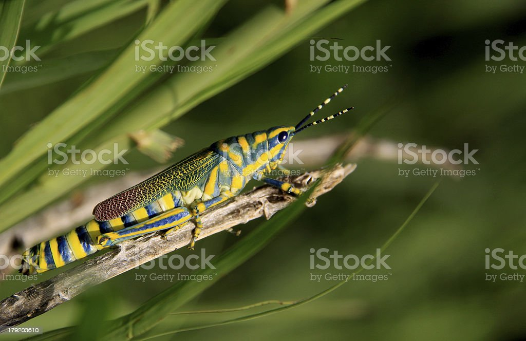 Painted Grasshopper : Insect royalty-free stock photo