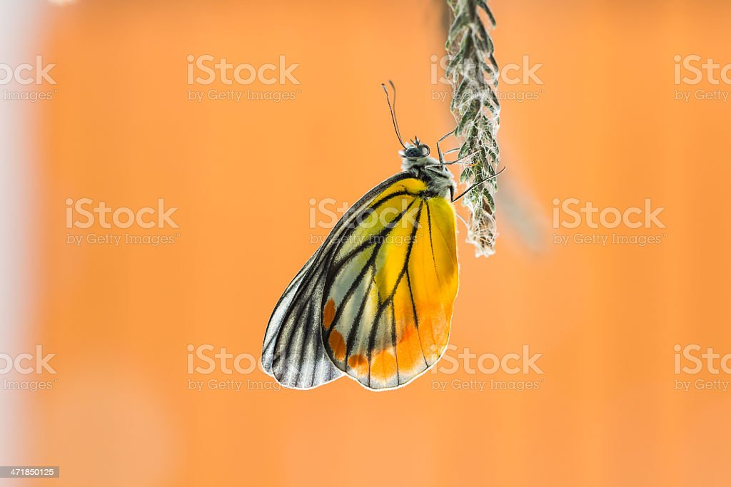 Painted Jezebel butterfly royalty-free stock photo