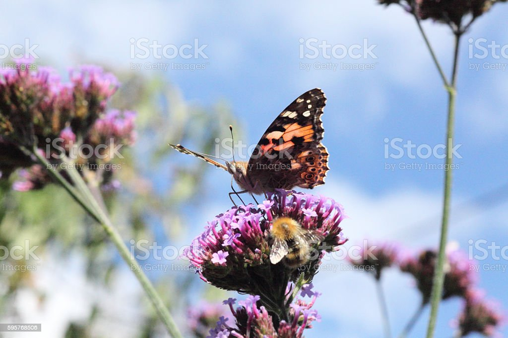 Painted lady and bumble bee stock photo