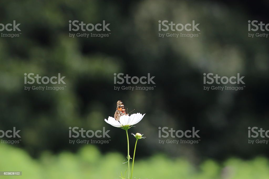 Painted lady and cosmos flower stock photo