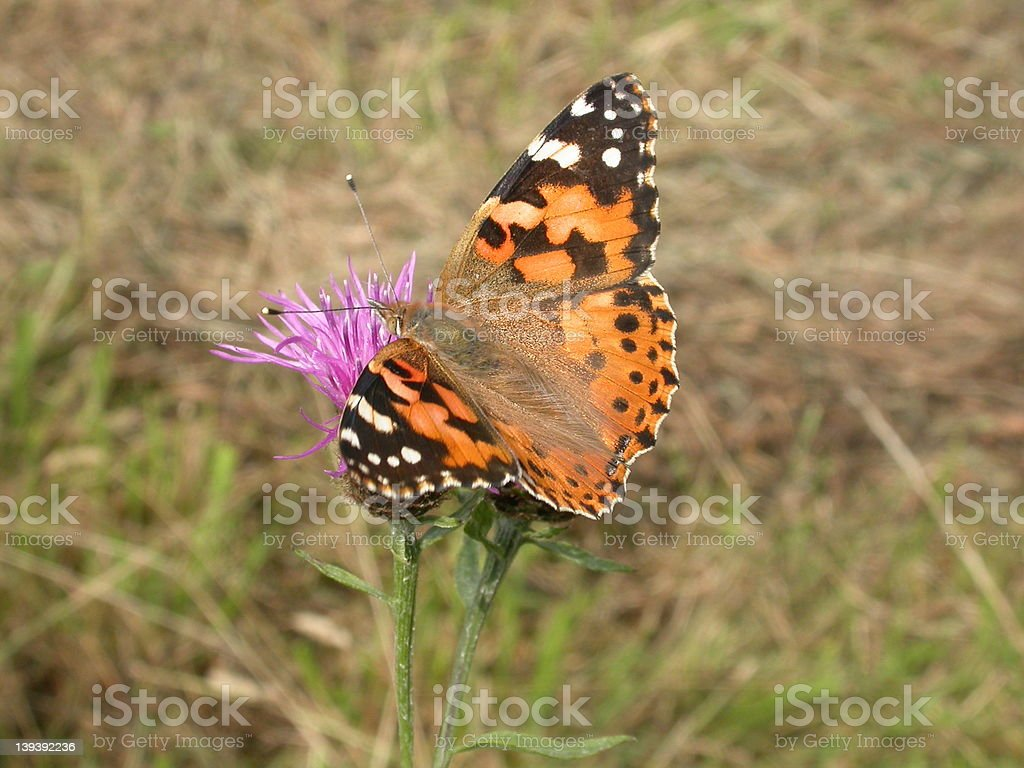 Painted Lady Butterfly 01 stock photo